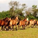 Pelajes del caballo V